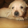 Claire & Charlie's Wheaten Litter June 6, 2014 :